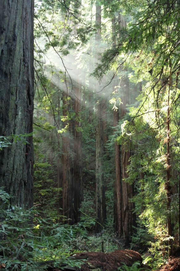 Redwoods in Muir woods. My first time seeing them and they were staggering and inspiring.