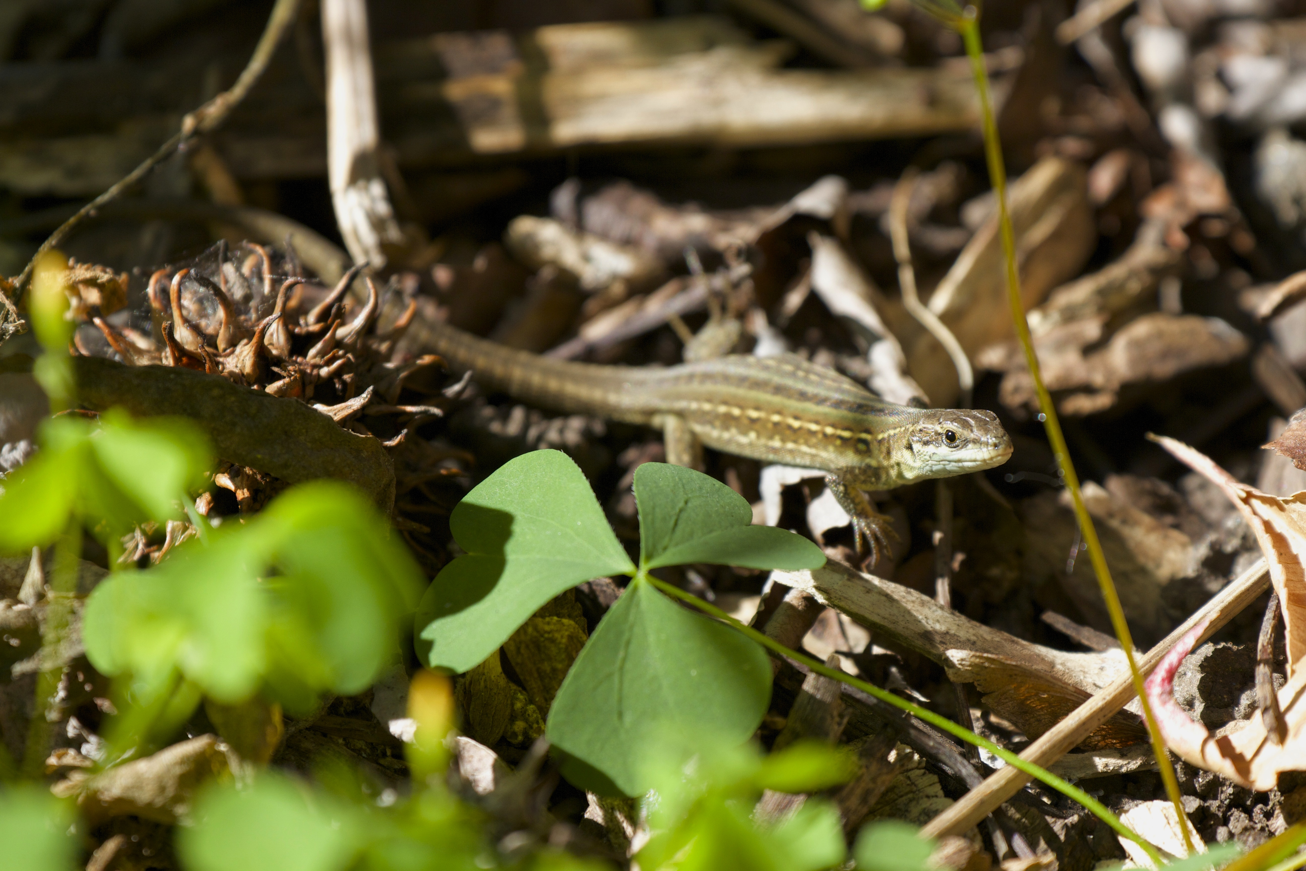 italian wall lizards in connecticut colin donihue