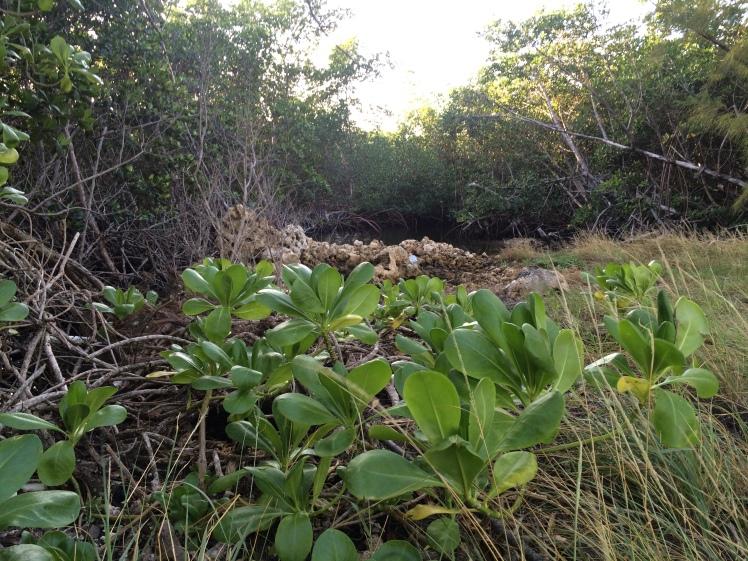 More Mangroves