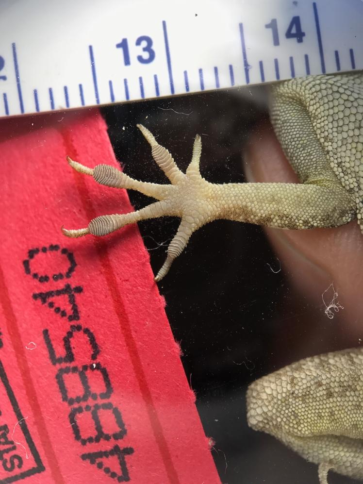 LizardForelimbToepad