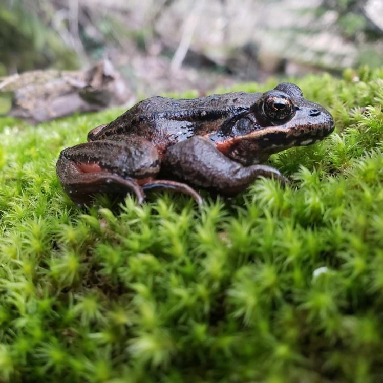 Red_legged_frog_A_Lambert(1)